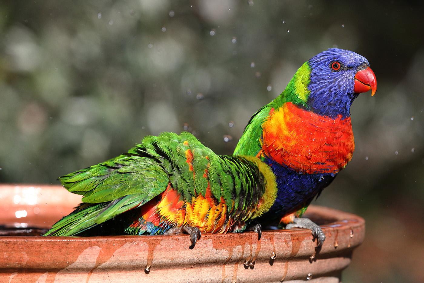 Rainbow Lorikeet (Image ID 42203)