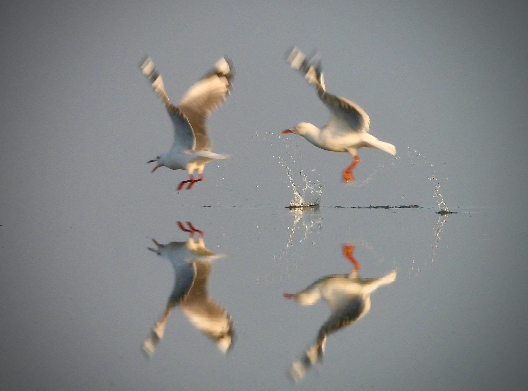 Silver Gull (Image ID 42406)
