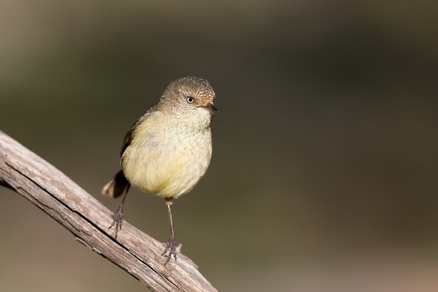 Buff-rumped Thornbill (Image ID 42268)