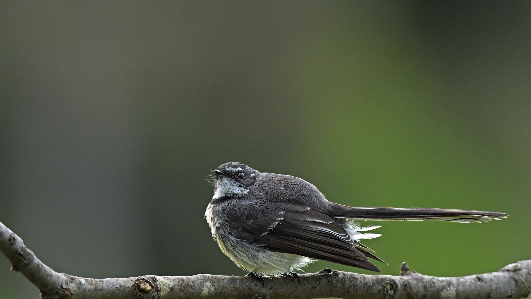 Grey Fantail (Image ID 42281)
