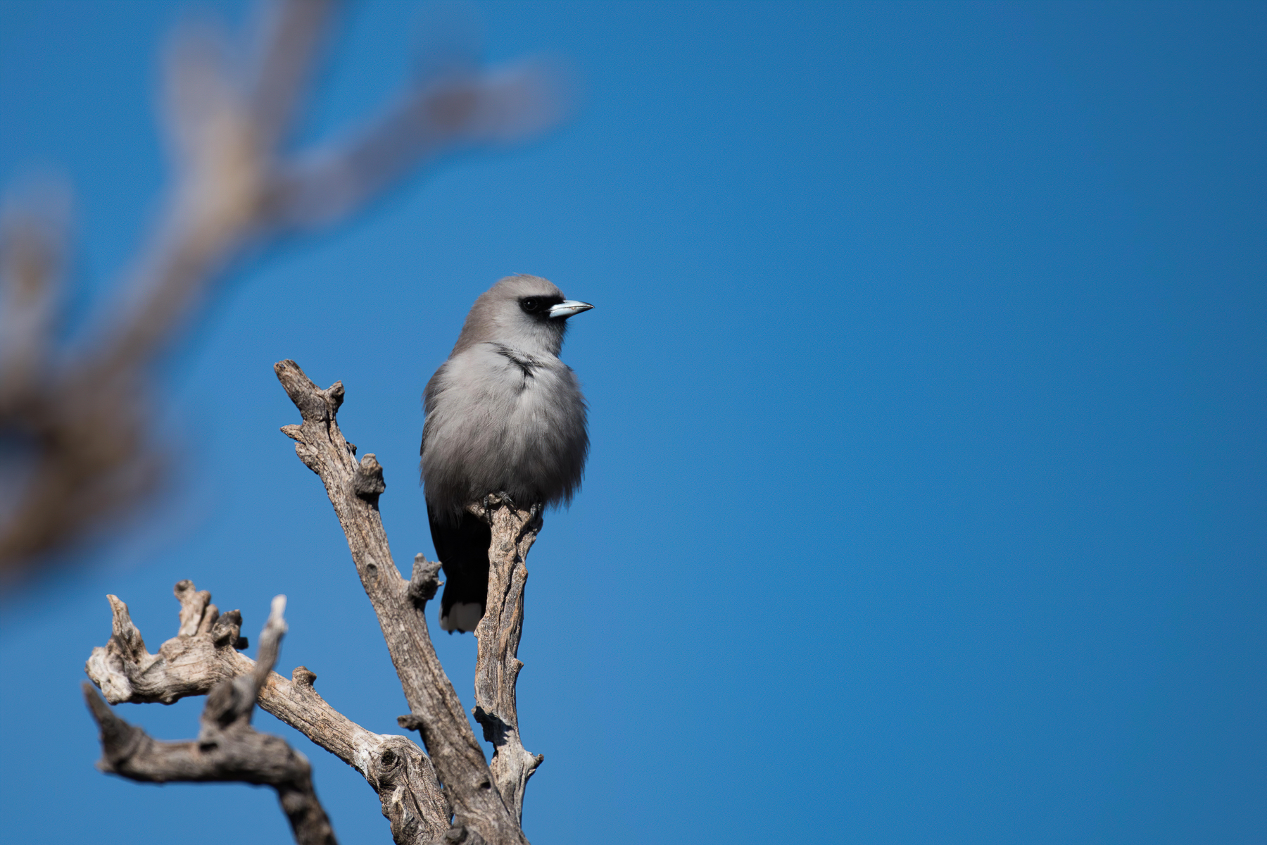 Black-faced Woodswallow (Image ID 42342)
