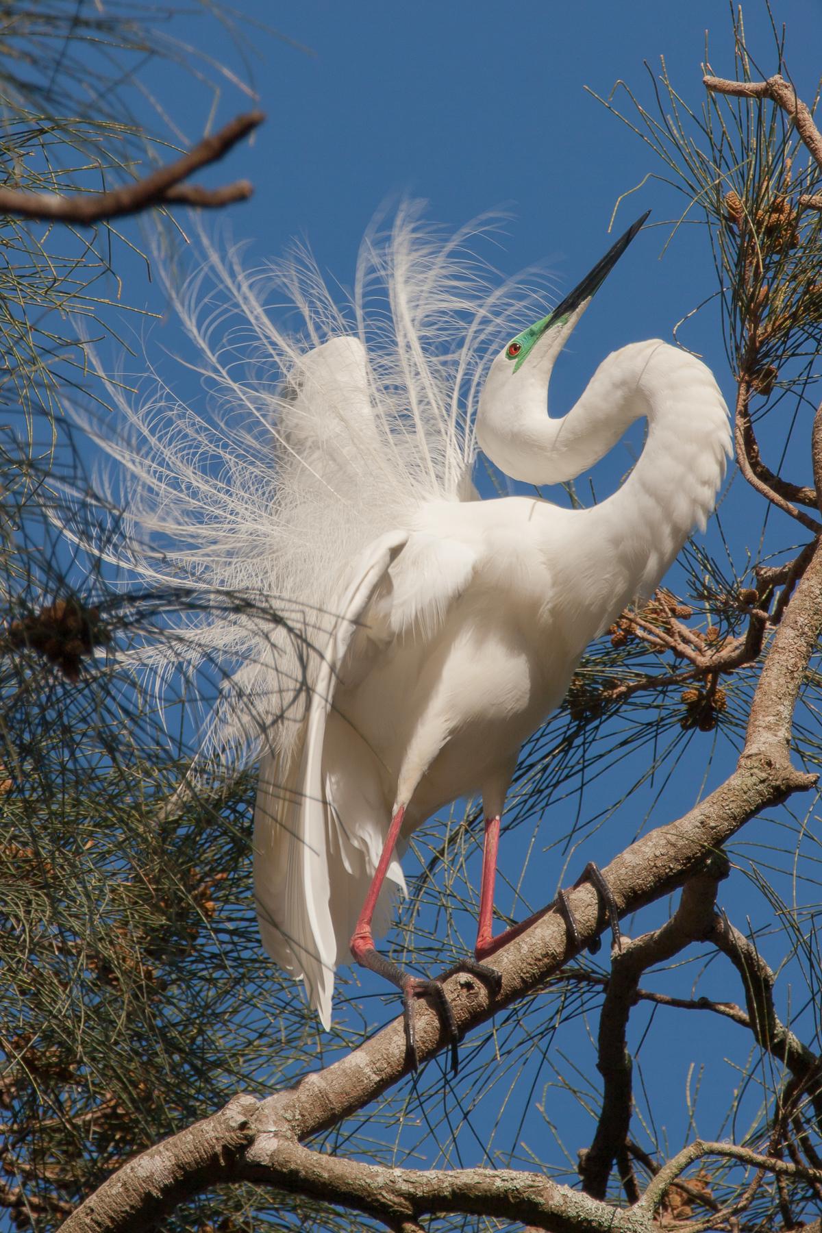 Great Egret (Image ID 42177)