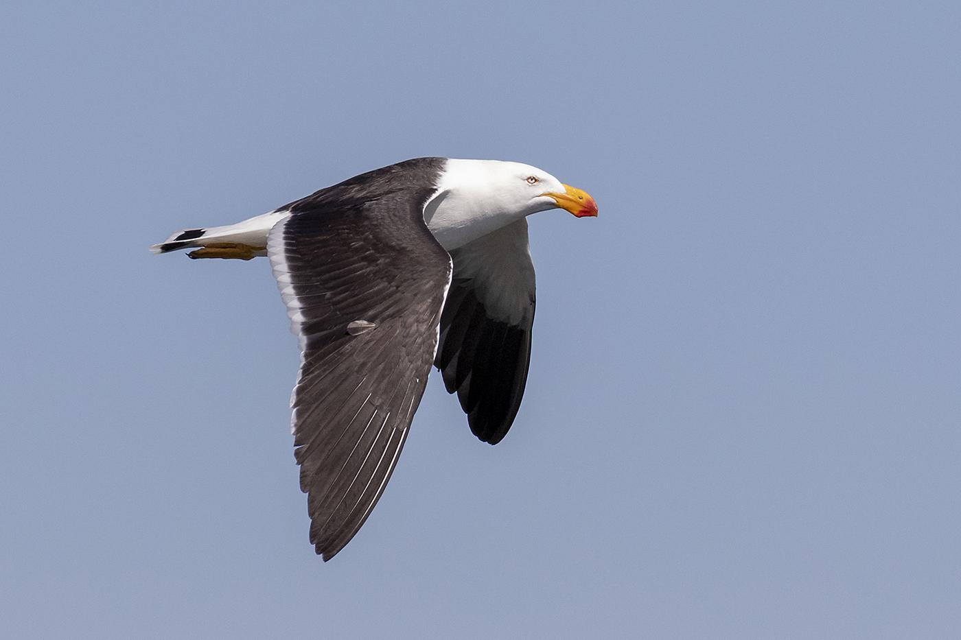 Pacific Gull (Image ID 42330)