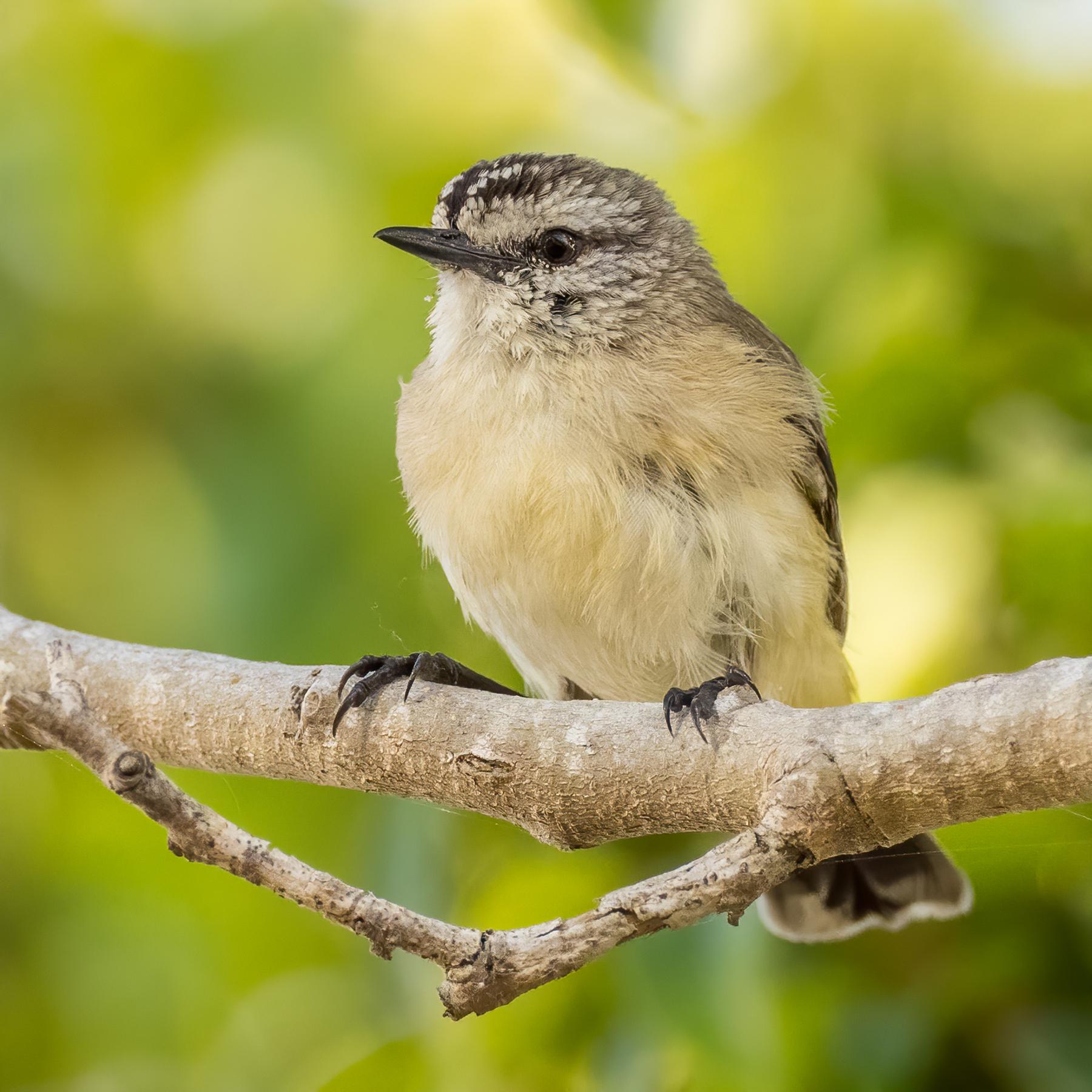 Yellow-rumped Thornbill (Image ID 42231)