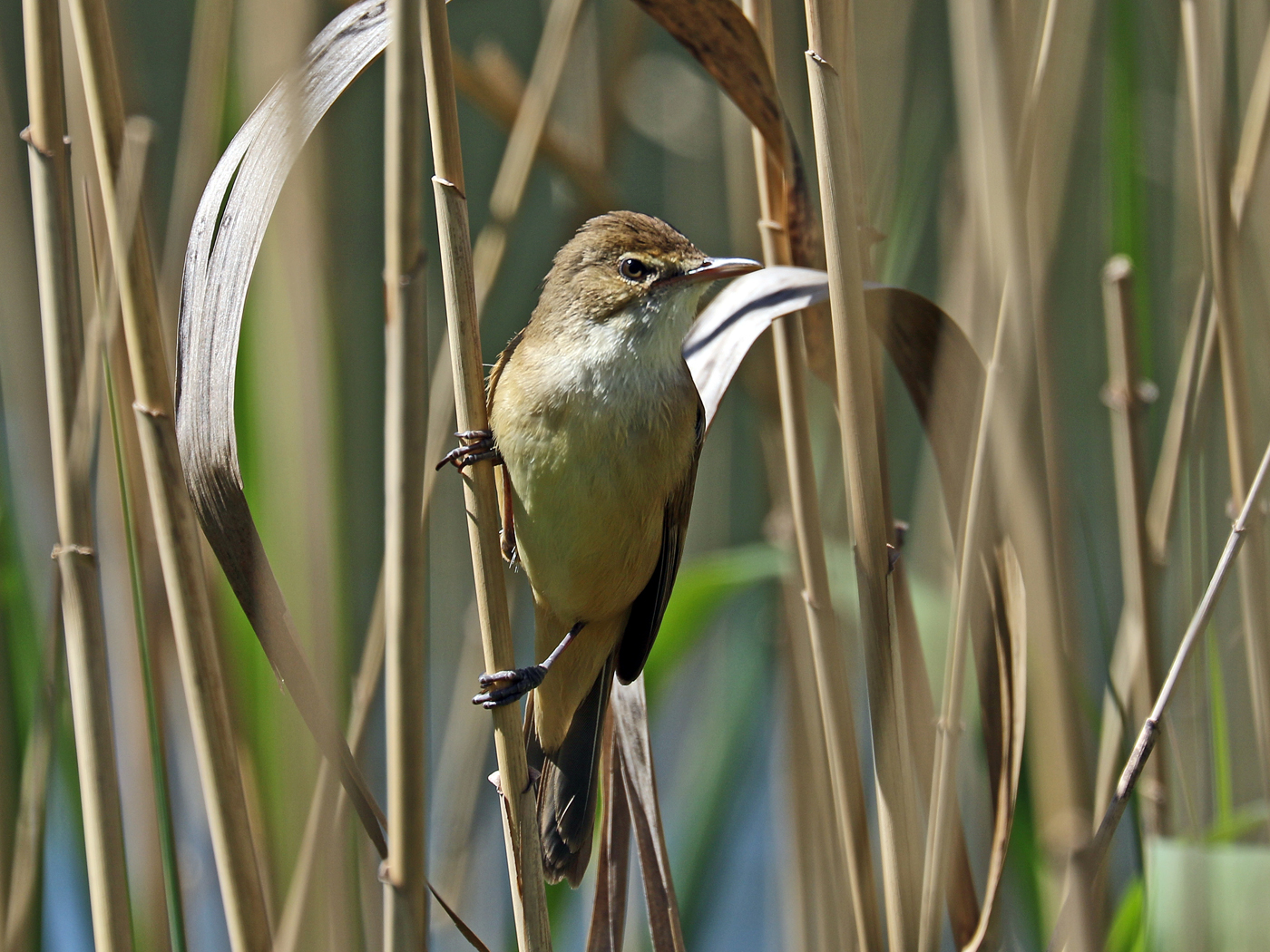 Australian Reed-Warbler (Image ID 42181)