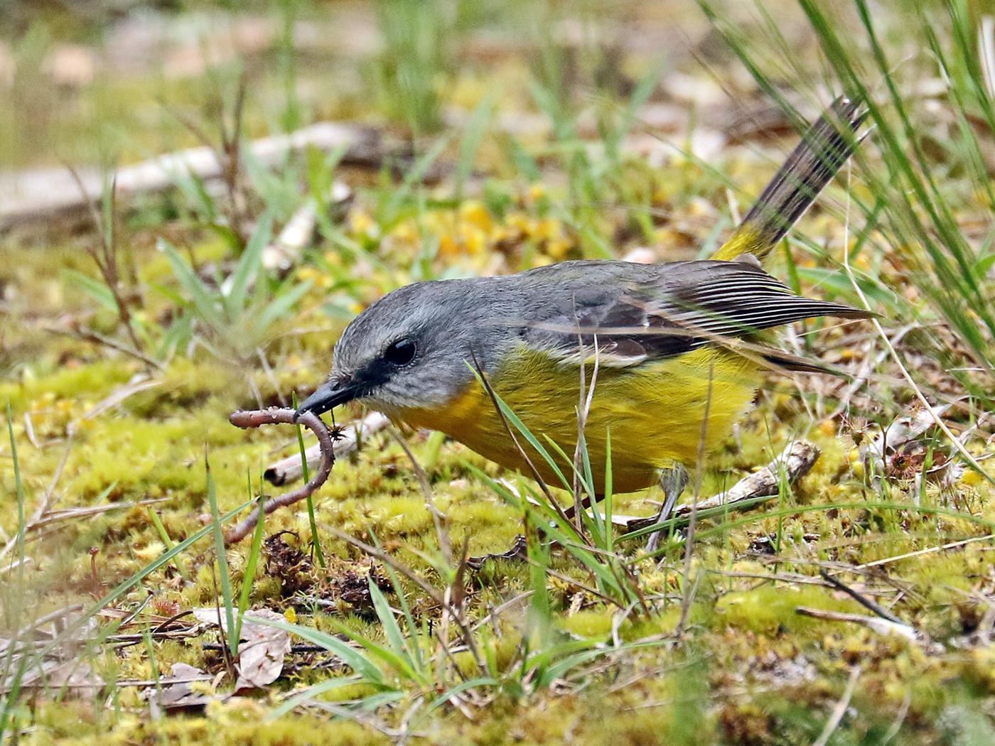 Eastern Yellow Robin (Image ID 42335)