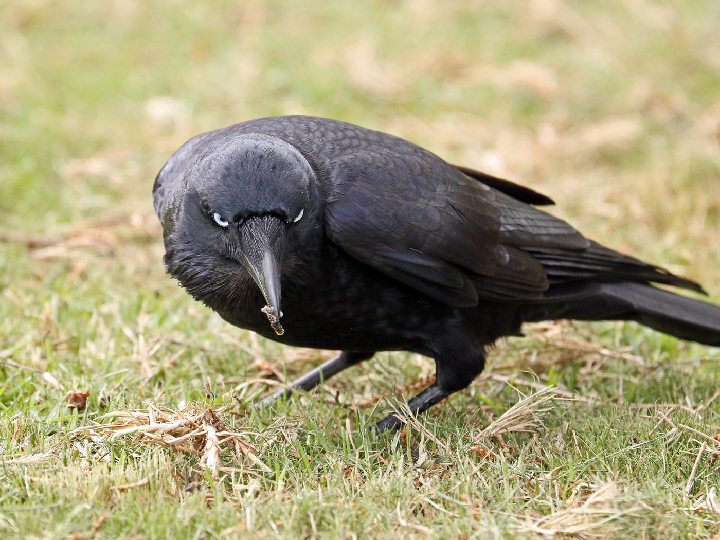 Little Raven (Image ID 42246)