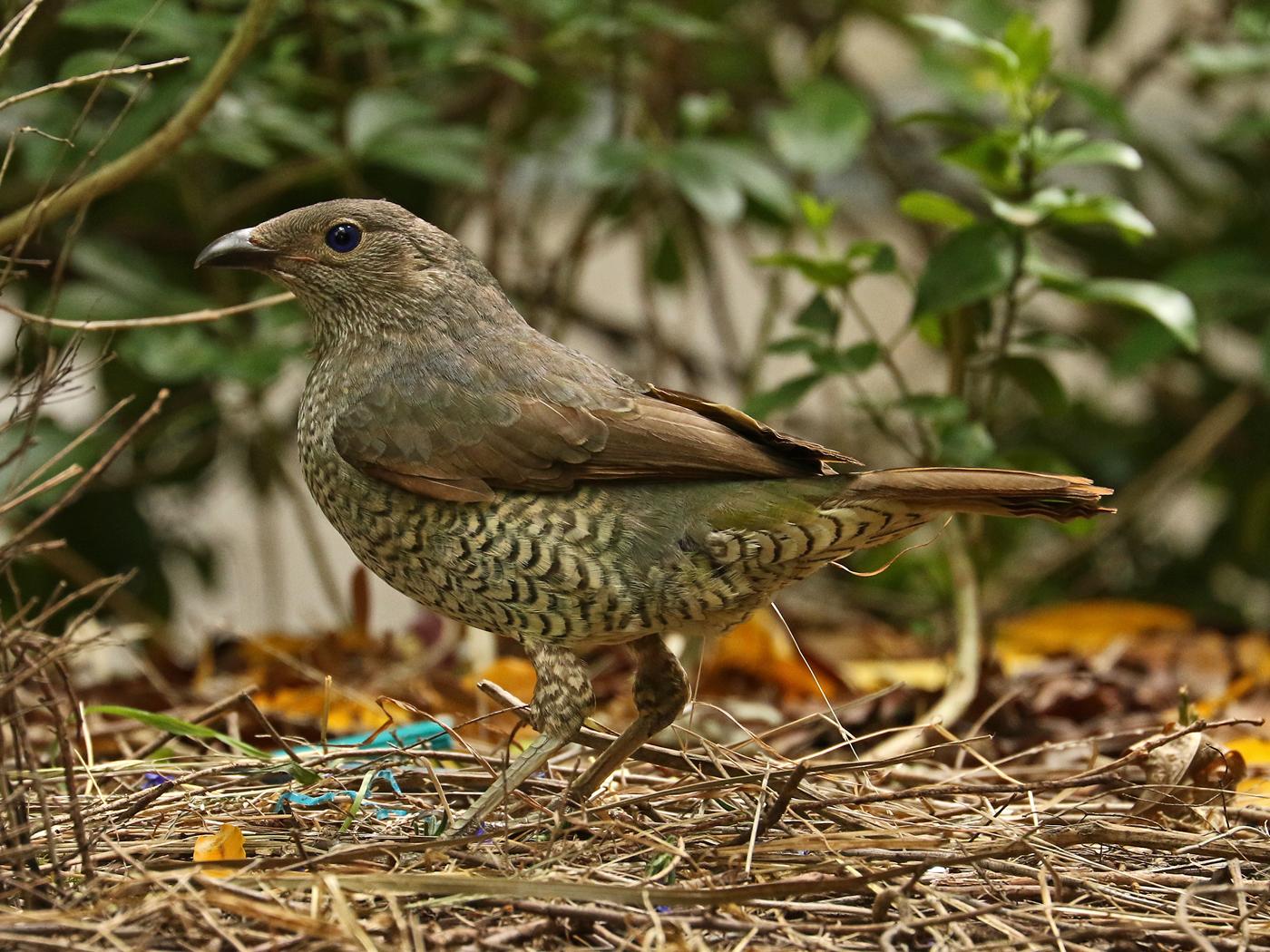 Satin Bowerbird (Image ID 42184)