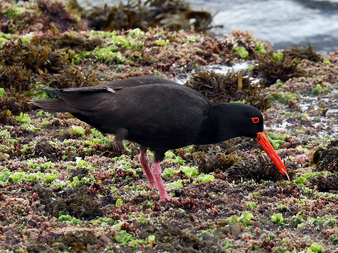 Sooty Oystercatcher (Image ID 42222)