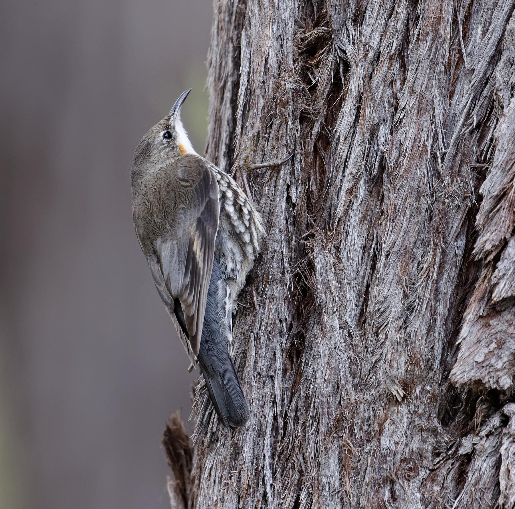 White-throated Treecreeper (Image ID 42341)