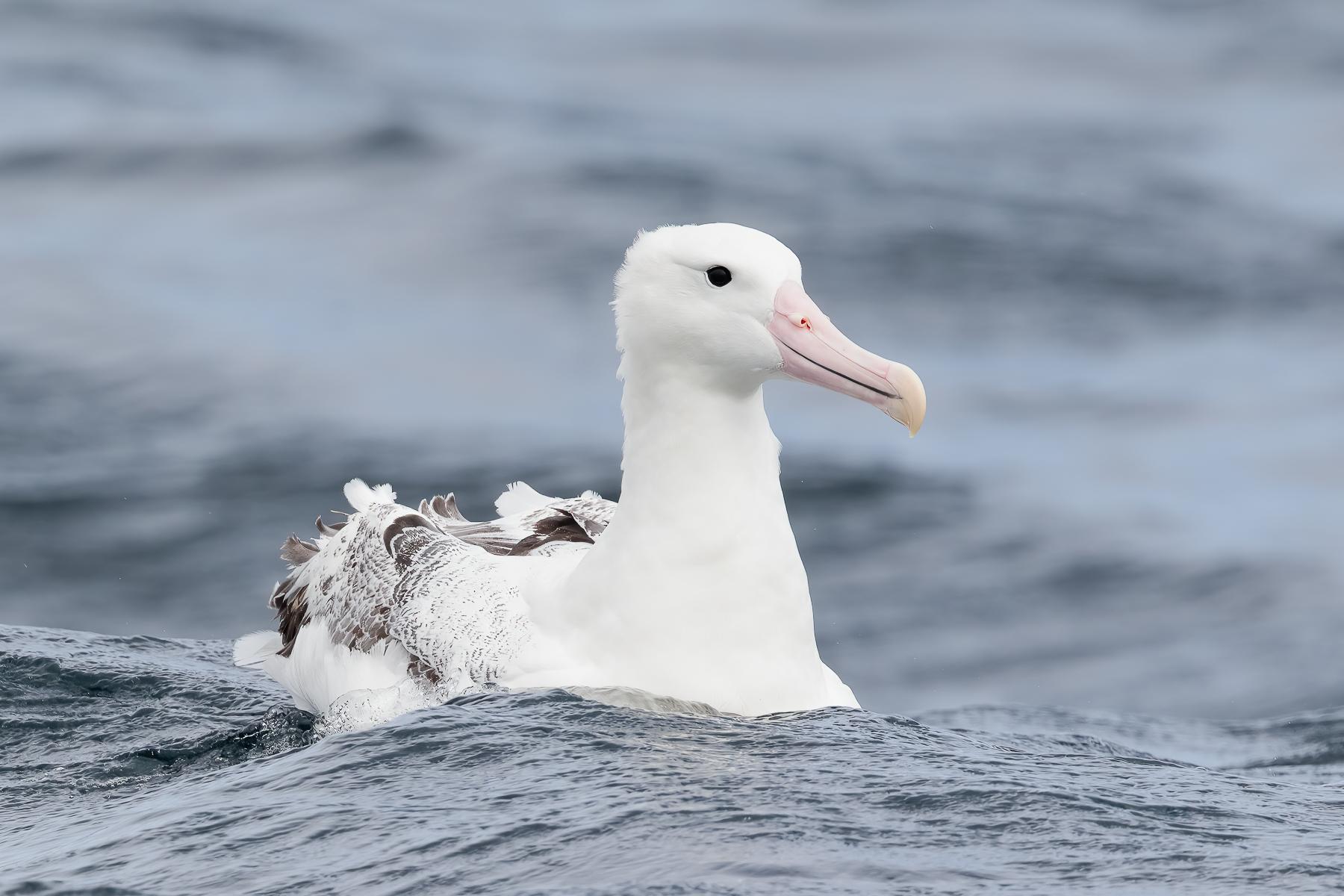 Southern Royal Albatross (Image ID 42393)