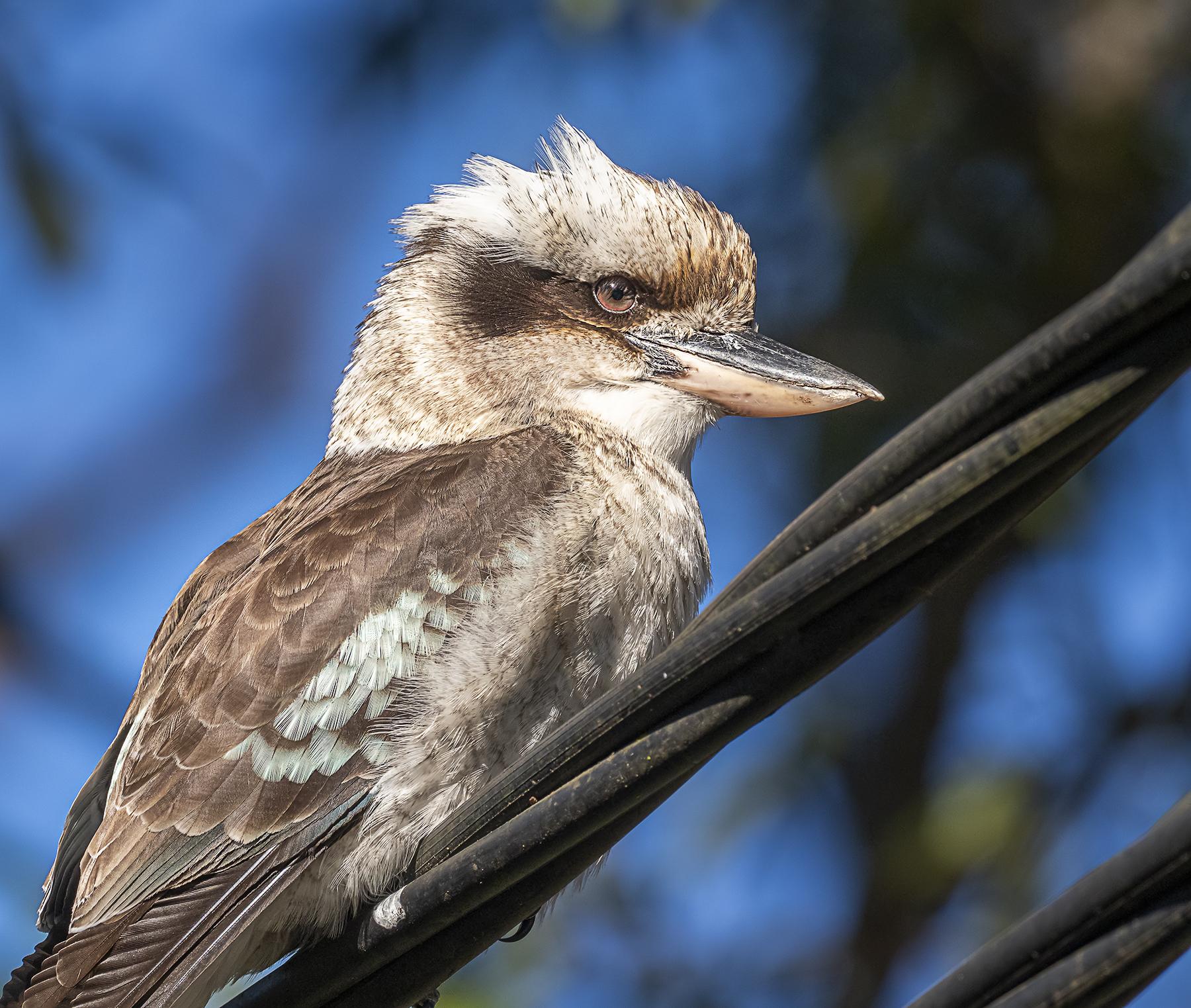 Laughing Kookaburra (Image ID 42363)