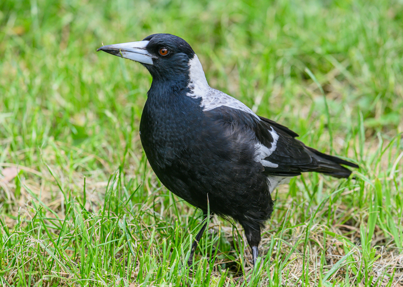 Australian Magpie (Image ID 42392)