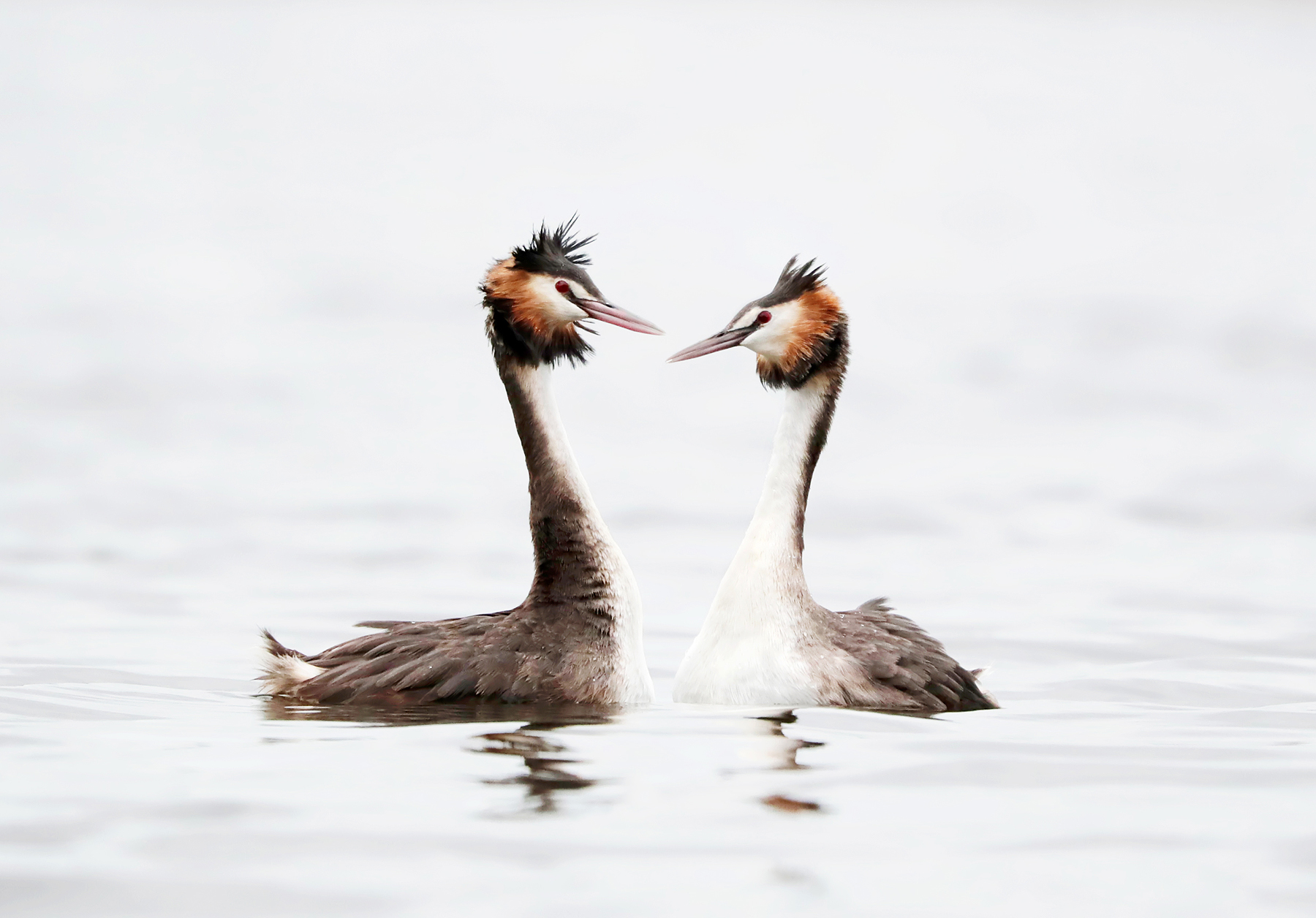 Great Crested Grebe (Image ID 42375)