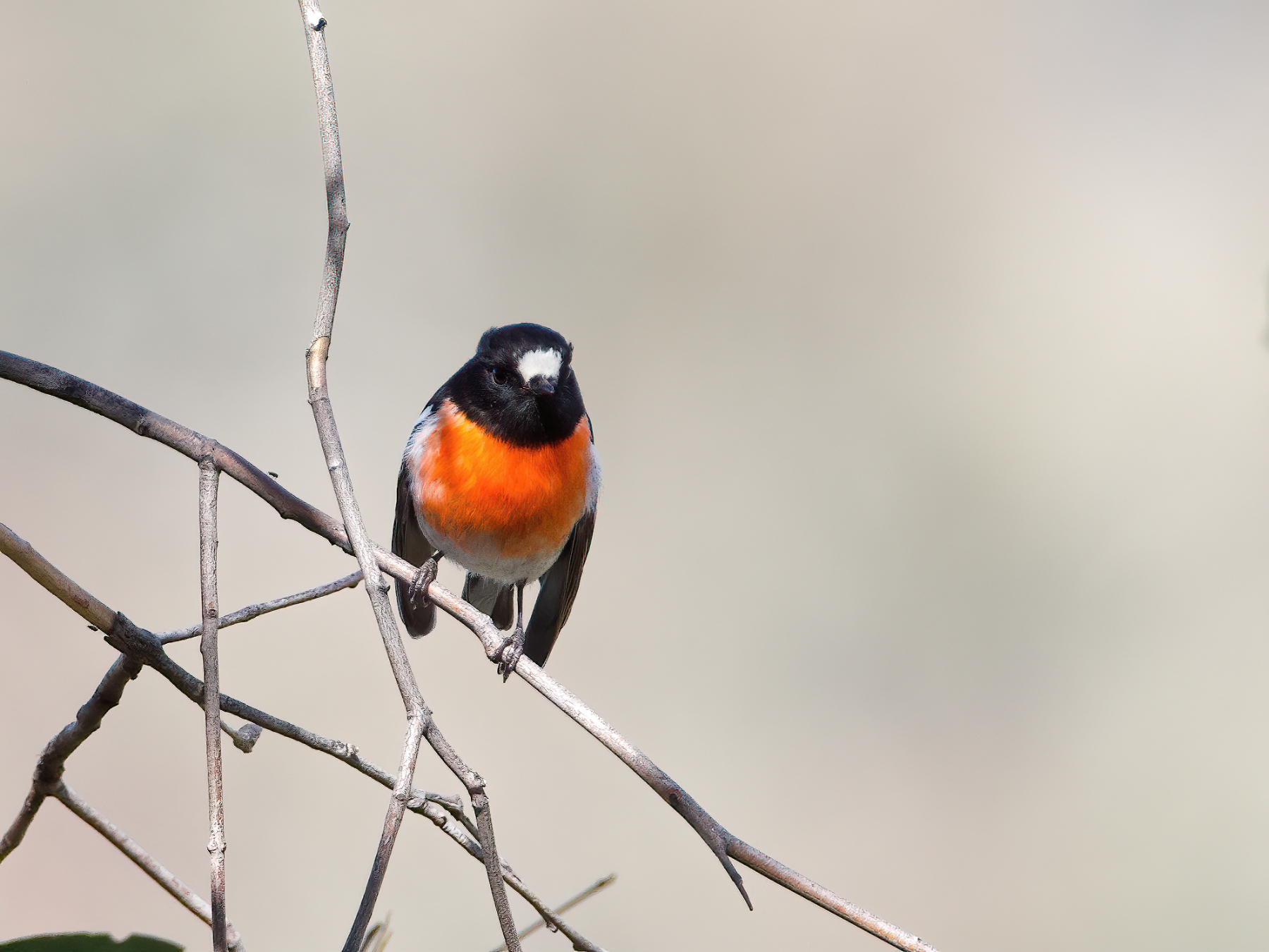 Scarlet Robin (Image ID 42175)
