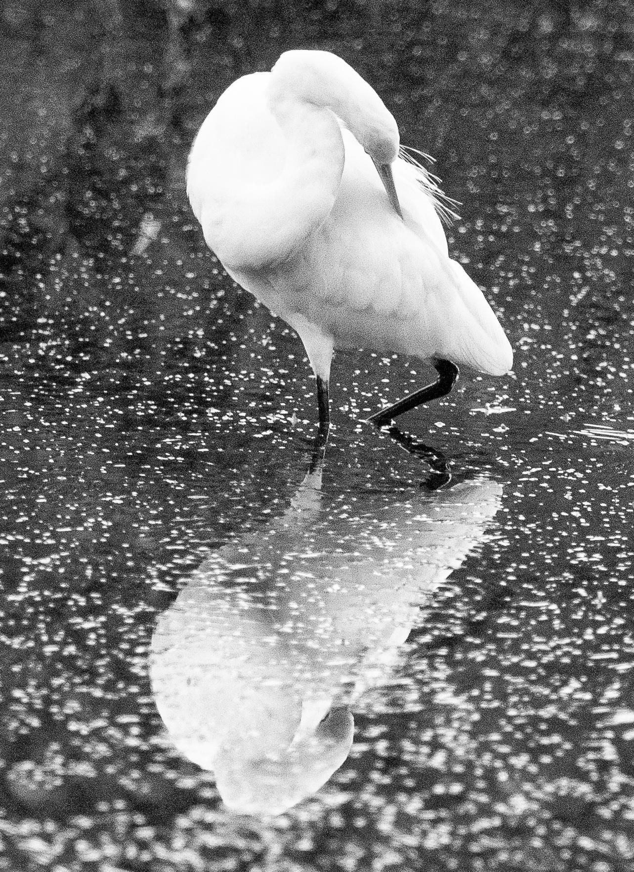 Great Egret (Image ID 42410)