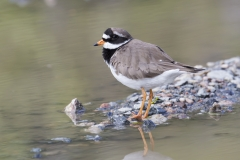 Common Ringed Plover (Image ID 29171)