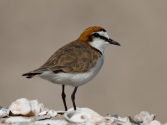 Red-capped Plover (Image ID 29460)