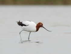 Red-necked Avocet (Image ID 29846)