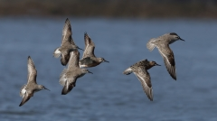 Red Knot,Curlew Sandpiper (Image ID 31705)