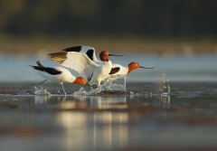 Red-necked Avocet (Image ID 44289)