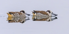 Pink-eared Duck (Image ID 42988)