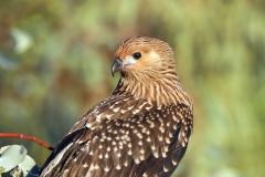 Whistling Kite (Image ID 42929)