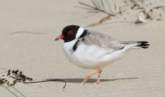 Hooded Plover (Image ID 43104)