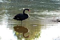Black Swan (Image ID 43095)
