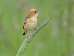 Golden-headed Cisticola (Image ID 43045)