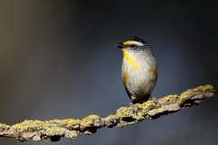 Striated Pardalote (Image ID 43083)