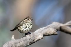 Speckled Warbler (Image ID 43082)