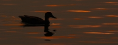 Pacific Black Duck (Image ID 43007)