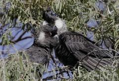 Carnaby's Black-Cockatoo (Image ID 42914)
