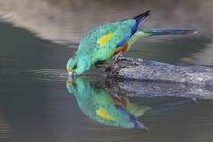 Mulga Parrot (Image ID 44295)