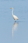 Great Egret (Image ID 43068)