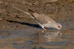 Diamond Dove (Image ID 42979)