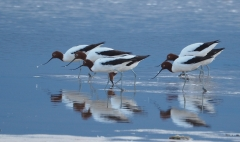 Red-necked Avocet (Image ID 43096)