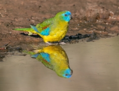 Turquoise Parrot (Image ID 43182)