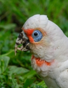 Long-billed Corella (Image ID 42996)