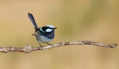 Superb Fairy-wren (Image ID 42725)