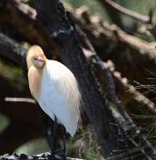Cattle Egret (Image ID 42944)