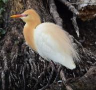 Cattle Egret (Image ID 42984)