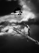 Laughing Kookaburra, Magpie-lark (Image ID 42747)