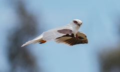 Black-shouldered Kite (Image ID 43043)