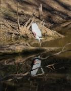 Australian White Ibis (Image ID 43112)