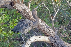 Great-billed Heron (Image ID 43641)