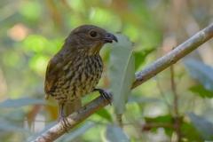Tooth-billed Bowerbird (Image ID 43632)