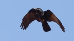 Little Crow (Image ID 43593)