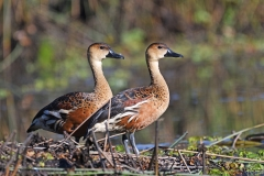 Wandering Whistling-Duck (Image ID 43333)